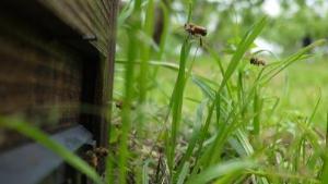 柿畑のなかのミツバチ