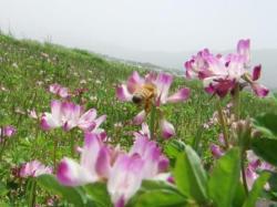 レンゲの花にきたミツバチ