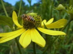 オオハンゴンソウにくるミツバチ