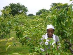 柿畑で摘花する親方