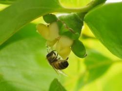 柿の花にやってきたセイヨウミツバチ