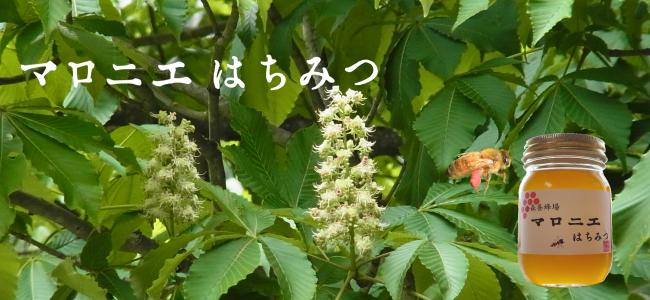 岐阜県産マロニエ蜂蜜