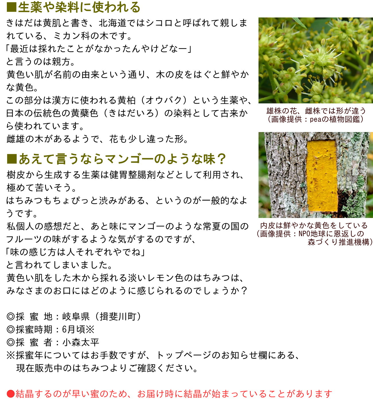 ■生薬や染料に使われるきはだは黄肌と書き、北海道ではシコロと呼ばれて親しまれている、ミカン科の木です。「最近は採れたことがなかったんやけどなー」と言うのは親方。黄色い肌が名前の由来という通り、木の皮をはぐと鮮やかな黄色。この部分は漢方に使われる黄柏(オウバク)という生薬や、日本の伝統色の黄蘗色(きはだいろ)の染料として古来から使われています。雌雄の木があるようで、花も少し違った形。■あえて言うならマンゴーのような味?樹皮から生成する生薬は健胃整腸剤などとして利用され、極めて苦いそう。はちみつもちょぴっと渋みがある、というのが一般的なようです。私個人の感想だと、あと味にマンゴーのような常夏の国のフルーツの味がするような気がするのですが、「味の感じ方は人それぞれやでね」と言われてしまいました。黄色い肌をした木から採れる淡いレモン色のはちみつは、みなさまのお口にはどのように感じられるのでしょうか?◎採 蜜 地:岐阜県(揖斐川町)◎採蜜時期:6月頃※◎採 蜜 者:小森太平※採蜜年についてはお手数ですが、トップページのお知らせ欄にある、現在販売中のはちみつよりご確認ください。●結晶するのが早い蜜のため、お届け時に結晶が始まっていることがあります雄株の花、雌株では形が違う(画像提供:peaの植物図鑑)内皮は鮮やかな黄色をしている(画像提供:NPO地球に恩返しの森づくり推進機構)